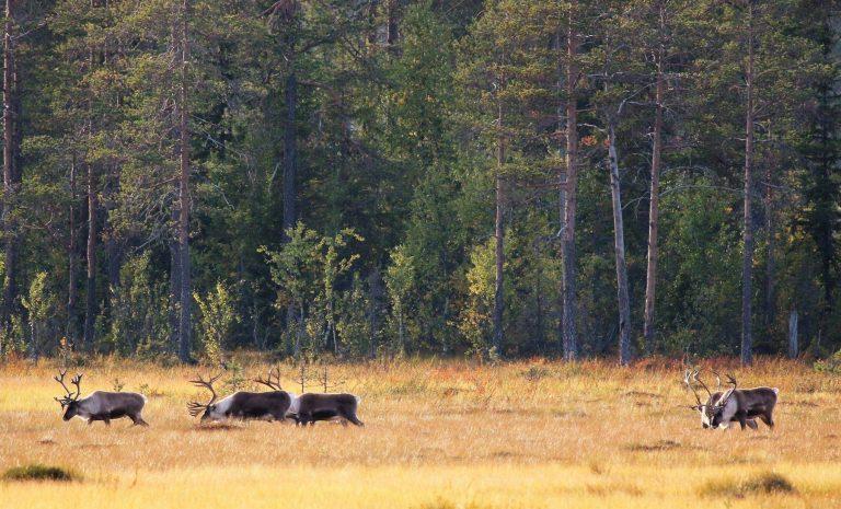 Reinsdyr i pihlske